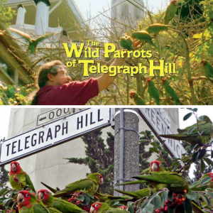 images of parrots of Telegraph Hill