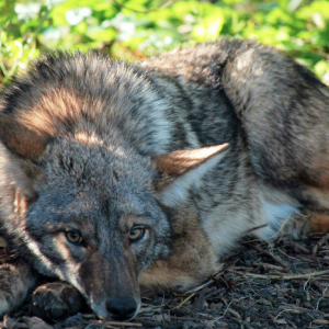 image of coyote on Telegraph Hill
